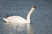 Black swan on lake — Stock Photo