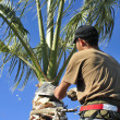 Постер, плакат: An Arborist Prunes the Top of a Palm Tree Trunk