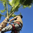 Tree Surgeon at Work on a Palm Tree — Stock Photo