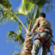 Pruning a Palm Tree — Stock Photo