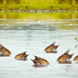 Ducks diving for food, without attention — Stock Photo