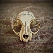 Skull of cat — Stock Photo