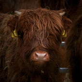 Highland cow calf — Stock Photo