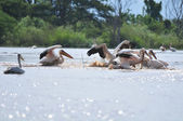 Great White Pelicans — Stock Photo