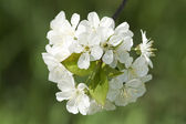 Cherry tree blossoming — Stock Photo