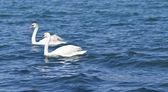 Two white swan. — Stock Photo