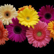 Gerbera on black - Stock Photo