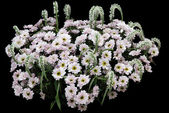 White chrysanthemums on black — Stock Photo