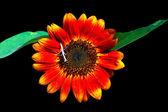 Decorative sunflowers — Stock Photo