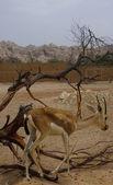 Arabian Deer — Stockfoto