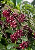 Raw Coffee Beans cherry — Stock Photo
