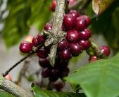 Raw Coffee Stem — Stock Photo