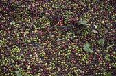 Raw coffee drying — Stock Photo