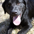 Foto Stock: Black Lab