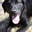 Stockfoto: Black Lab
