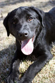 Black Lab — Stock Photo