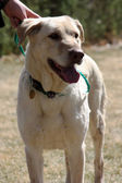 Yellow Lab front view — Stock Photo