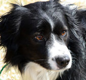 Border Collie Corgi mix face closeup — Stock fotografie