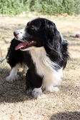 Profile of border collie corgi mix dog — Stok fotoğraf