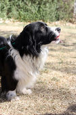 Black and white border collie corgi mix profile — Stok fotoğraf