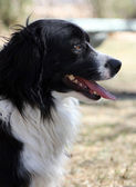 Profile border collie corgi mix — Stock Photo