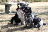 Border Collie Corgi Mix dogs sitting together — Zdjęcie stockowe