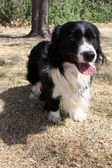 Small black and white border collie corgi mix dog — 图库照片