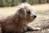 Small tan and white dog profile — Stok fotoğraf
