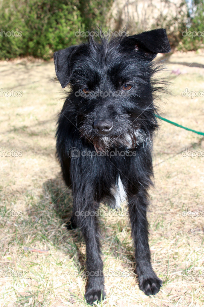 Black small wire-haired dog — Stock Photo © ddbreske #9761516