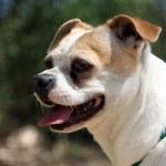 Profile of Chihuahua Pug blend dog — Stock Photo