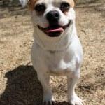 Chihuahua Pug blend — Stock Photo