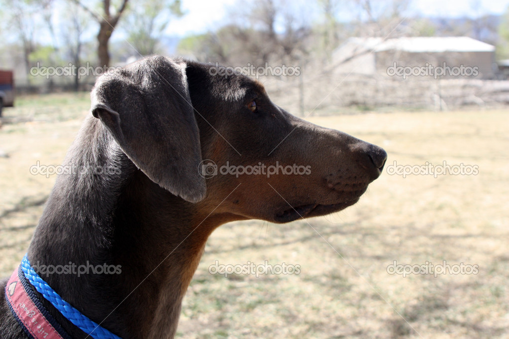 Dogs have personalities too! Doberman's are tall, thin dogs with a very stoic disposition. They are observers as you can see by this doberman intensely watching what is going on around him. — Stock Photo #9838776
