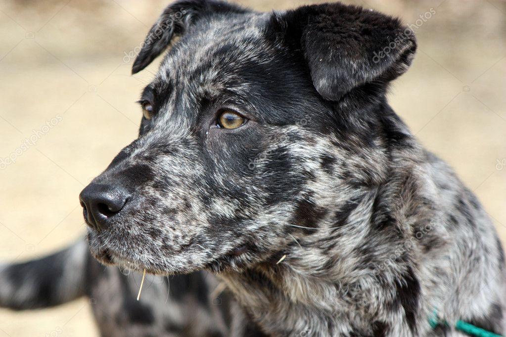 Catahoula Leopard Dog Mix