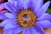 Beautiful blue water lily (lotus) and Insect — Stock Photo