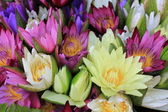 Water lilies colorful — Stock Photo