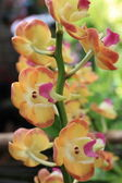 Yellow orchids. — Stock Photo