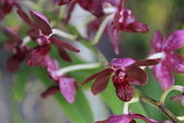 Dark violet orchid — Stock Photo