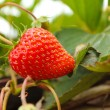 Strawberry growing on a tree — Stock Photo #9605737