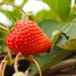 Strawberry växer på ett träd — Stockfoto