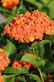 Orange blüten — Stockfoto