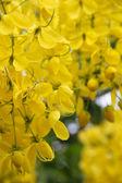 """Ratchapruek"" flowers — Stock Photo"