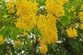 "Bright yellow ""dok koon"" flowers — Stock Photo"