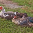 Goose and ducks — Stock Photo