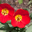Stock Photo: Two tulips