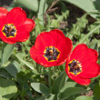 Stock Photo: Three tulips
