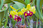 Cattleya orchids. — Foto de Stock