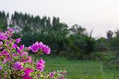 Purple bougainvillaea — Stock Photo