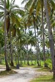 Coconut trees. — Стоковое фото