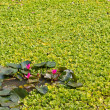 Stock Photo: Lotus and aquatic weeds