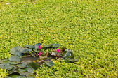 Lotus and aquatic weeds — Stock Photo